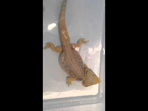 Bearded dragon takes poop in bath