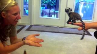 Baby Lemur at Play