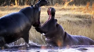 Angry Hippos Fight for Mate - Nature