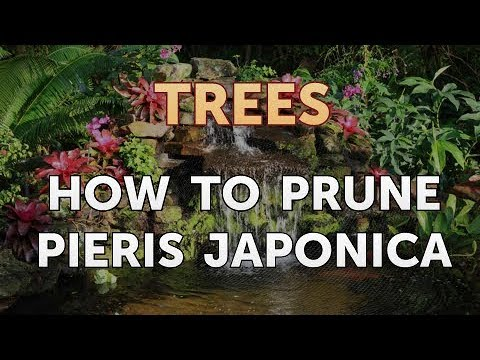 How to Prune Pieris Japonica
