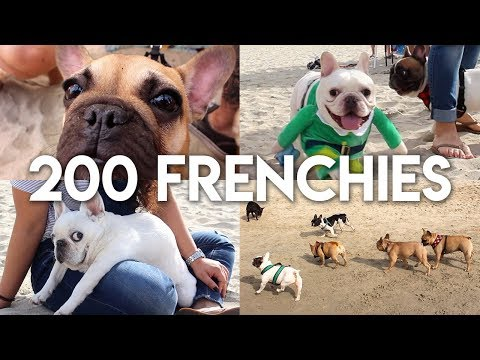 200 FRENCHIES IN ONE PLACE