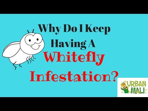 Why Do I Keep Having A Whitefly Infestation? - UrbanMali.com
