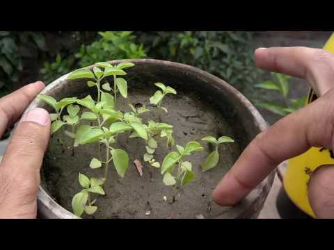 How to Grow Basil From Seeds | Grow Basil | Herbal Properties | Part-3 (Urdu/hindi)