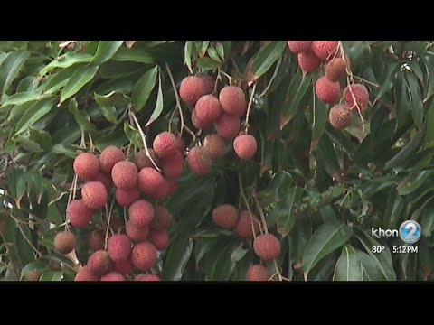 Lychee Prices