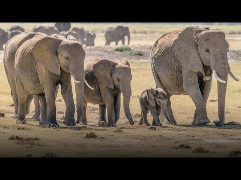 Racing to save Kenya's wild elephants from poachers