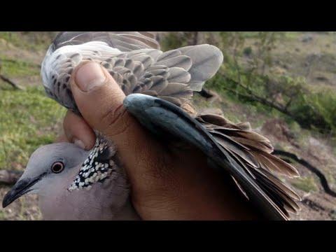 បាន មួយទៀត ហេីយ បង ប្អូន How to cacth bird in cambodia, how to trap bird in cambodia, how to trap fi