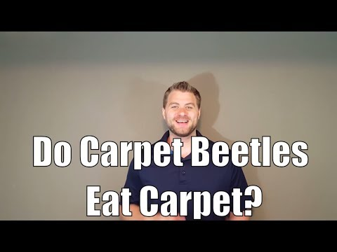Do Carpet Beetles Eat Carpet?