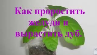 Как вырастить Дуб из желудя Размножение Проращивание Уход How To Grow An Oak From An Acorn Sprouting