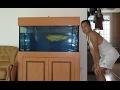 LIOW VIDEO: FLYING TURTLE WITH AROWANA (old video)猪鼻龟与龙鱼混养
