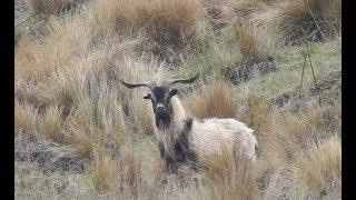 Goat hunting new zealand