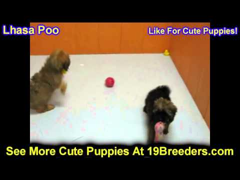 Lhasa Poo, Puppies, For, Sale, In, West Jordan, Utah, County, UT, Utah, Davis, Cache, Box Elder, Iro