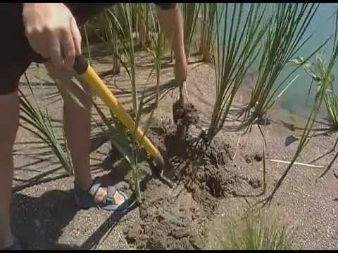 How to Kill Cattails, cattail management and controlling cattails