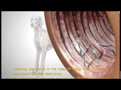 Hookworm and Roundworms