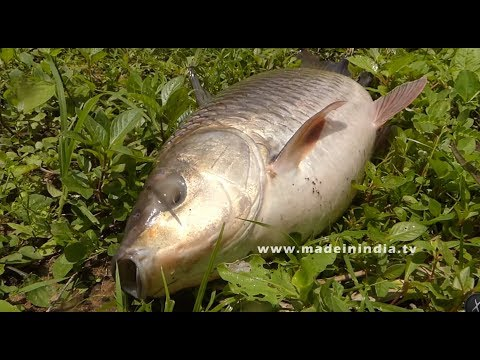 Never Seen Before? #50 Kg's Live Bengal Carp Fish Catching and Cutting | Amazing Fish Catcing