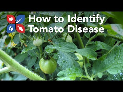 Do My Own Gardening - How to Identify Tomato Disease Problems - Ep8