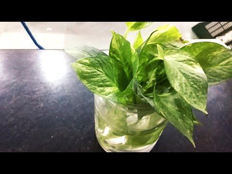 Growing money plant in bottle