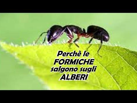 PERCHE' LE FORMICHE SALGONO SUGLI ALBERI