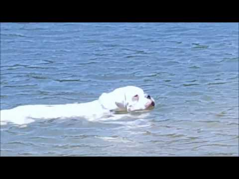 Boxer dogs can swim :) but tail certanly helps