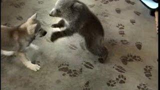 Grizly Bear Cub & Wolf Cub Playing