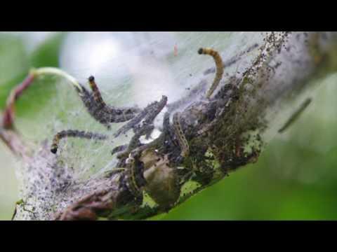 Ermine Moth Caterpillars in Their Webs
