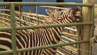 This Zebra Named Zinfandel Is Very Protective of Her Herd of Goats