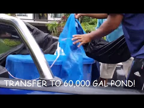 Part 1: Transfer FISH TO 60,000 GAL PONDS!
