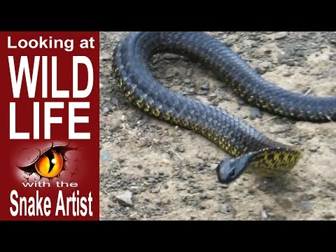 Very Angry Venomous Snake released