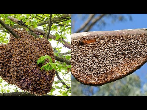 Primitive Technology : Giant Harvesting Honeybees in the Tress || Traditional honey Removal
