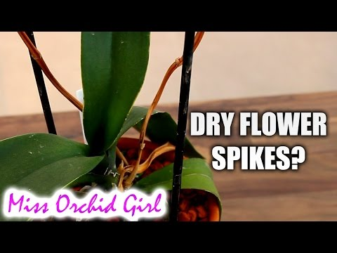 Phalaenopsis Orchid spike is drying - what to do?