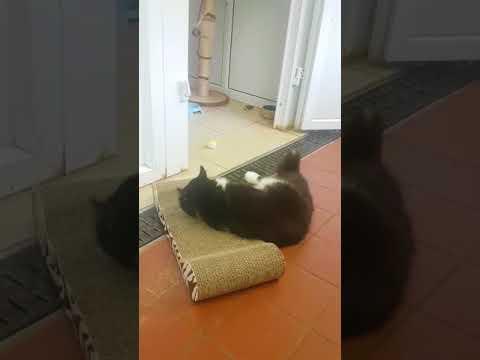 Sylvester enjoying his new scratching post