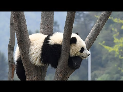 Baby panda sighted frolicking alone in the wild in SW China