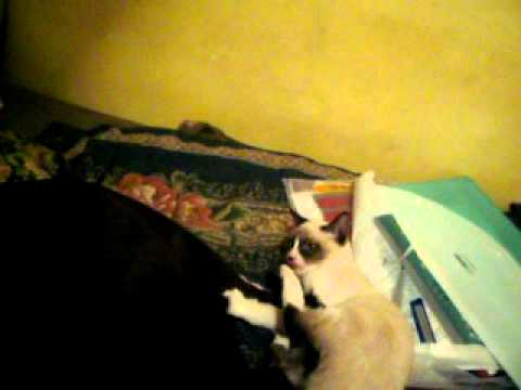 Gato Siames