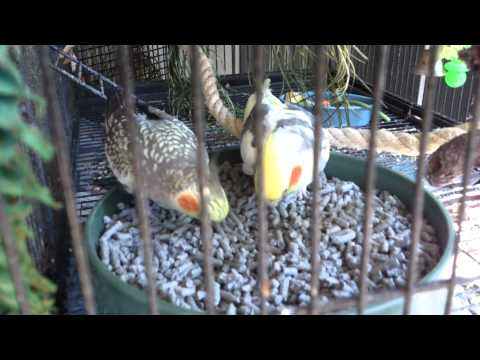 Safe, Kitty Litter Foraging - Cockatiels use foraging tray 1080p