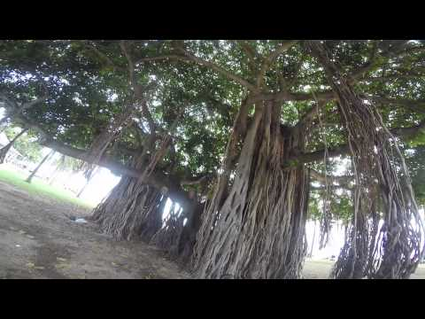 banyan trees - how they spread