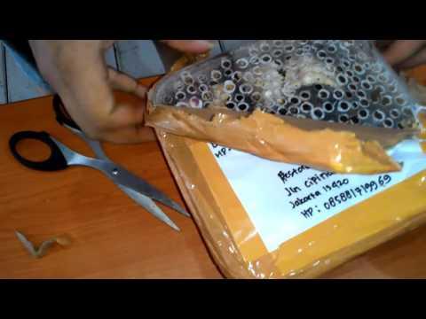 Hermit crab unboxing (Indonesia)