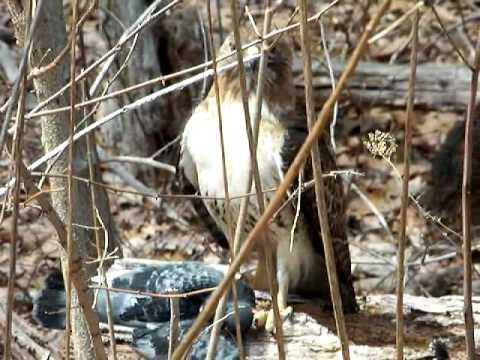 Red Tail Hawk Stalks Pigeon