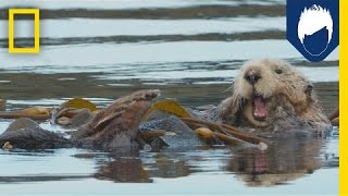 Sea Otters: This Kelp Forest's Best Friend | National Geographic