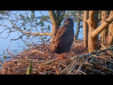 Smola Norway Eagle Cam ~ Elida Watches Baron Before Sleeping 6.25.18