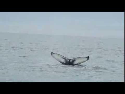 Humpback Whale at Husavik, Iceland