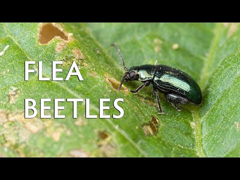 Flea Beetles