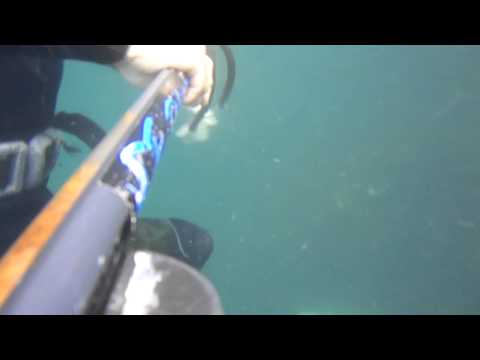 Spearfishing a garrick - getting the fish ultraclose to the speargun