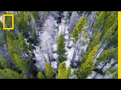 This Tiny Beetle Is Devastating Forests in the Worst Outbreak Ever | Short Film Showcase