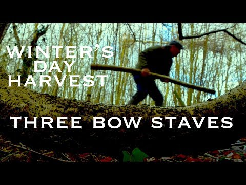 Three Bow Staves A Bowyer's Winter Harvest. Elm, Hawthorn & Hazel Felled with a Wolverine Pocket Saw