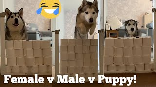 Huskies & Puppy React To The Toilet Roll Challenge!! [BEST REACTION EVER!] [WITH CAPTIONS]