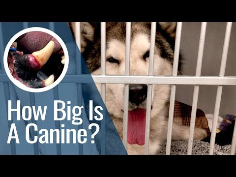 How Big Is A Canine Tooth? - Another Husky Tooth Extraction