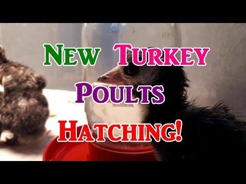 Hatching Turkeys!