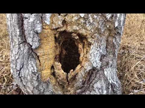 Honey Bees in tree update 2/14/18
