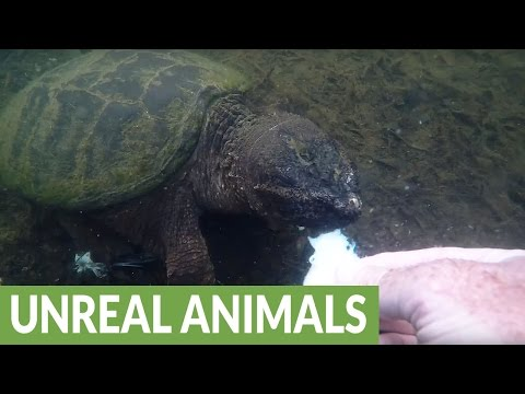 Man lets snapping turtle bite him to dispel myth