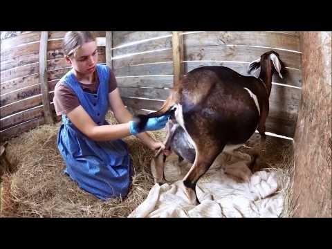 Xxx Mp4 Goat Care Pt 3 Labor Amp Kidding 3gp Sex