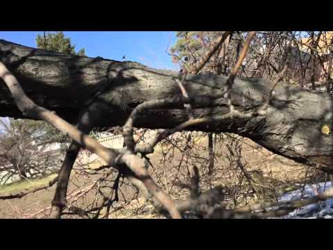 Pruning Neglected Apple Trees